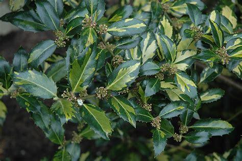 silver variegated english holly ilex aquifolium argentea
