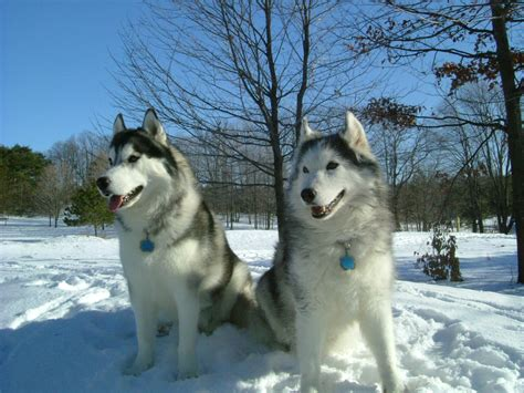 snow dogs 2 snow dogs 2 by valentino1024 on deviantart