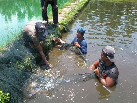 Jenis Pelet Apung Lele cara ternak sapi ternak ikan gurame
