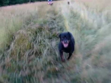how fast can a rottweiler run how fast can a rottweiler run rottweilervideos
