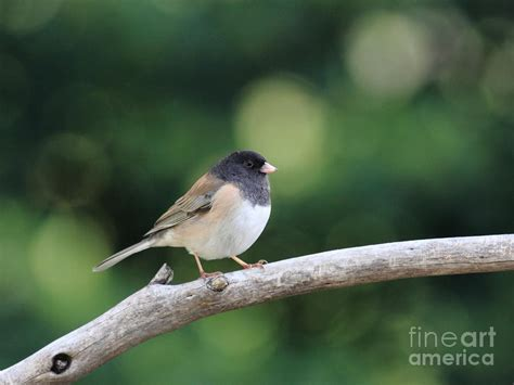 oregon junco print by wingsdomain art and photography