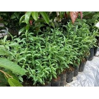Tanaman Hias Cemara Embun tanaman hias cemara embun shopee indonesia