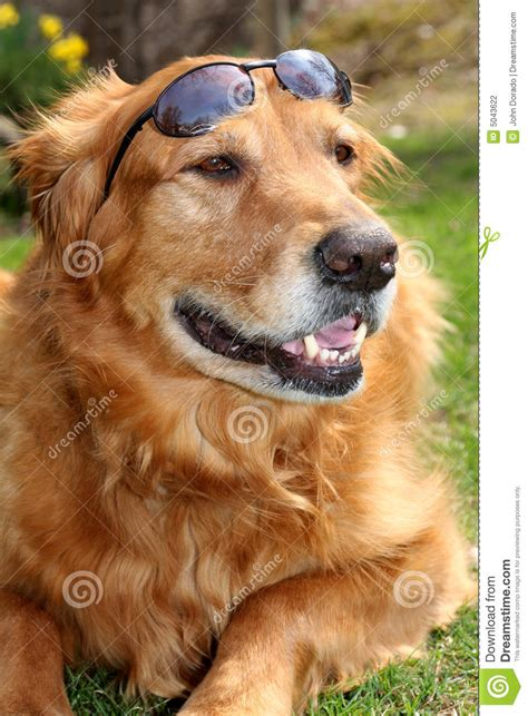 golden retriever shades golden retriever with shades stock photography image 5043622
