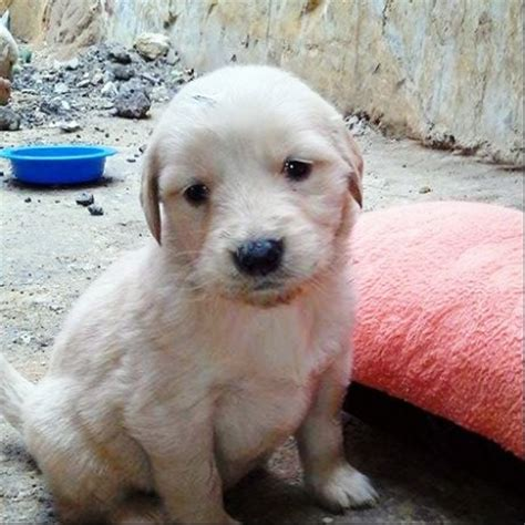 looking for a golden retriever puppy to adopt cachorros golden retriever santiago dogs our friends