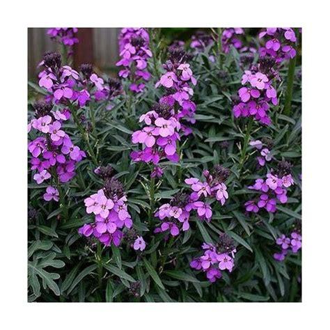 Pot Pour Plante 3958 by Girofl 233 E Arbustive Vivace Erysimum Bowles Mauve