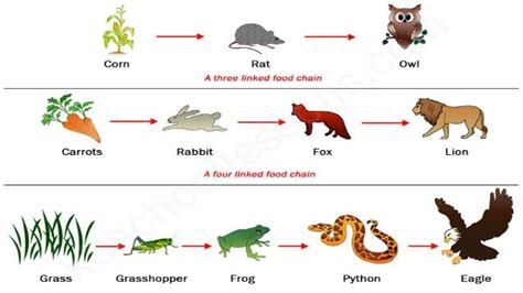 Food Chain Of Animals Images
