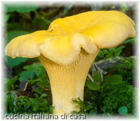 come cucinare i funghi finferli conoscere i funghi finferli descrizione e scheda di cucina