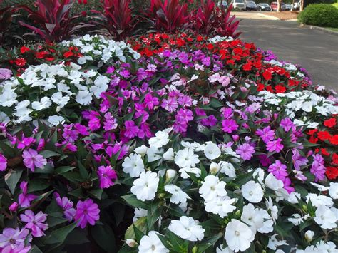 Sunpatiens Named Louisiana Super Plant Flower Garden Plants