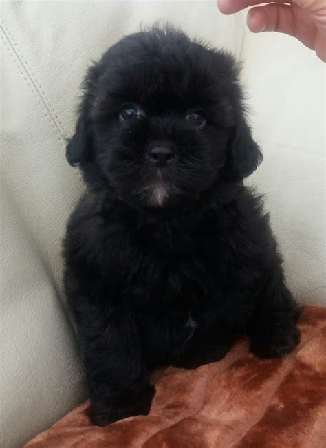 shih tzu cross poodle puppies shih tzu cross poodle shihpoo pup llanelli carmarthenshire pets4homes
