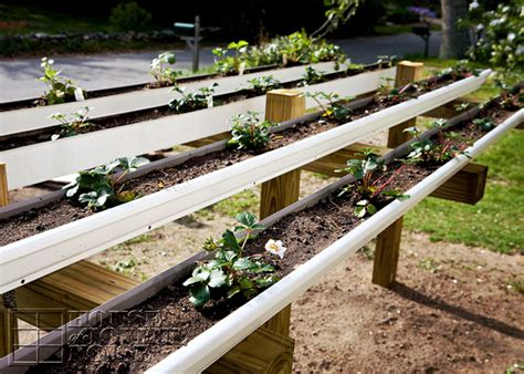 Gutter Strawberry Planter by Strawberry Planting In Gutters