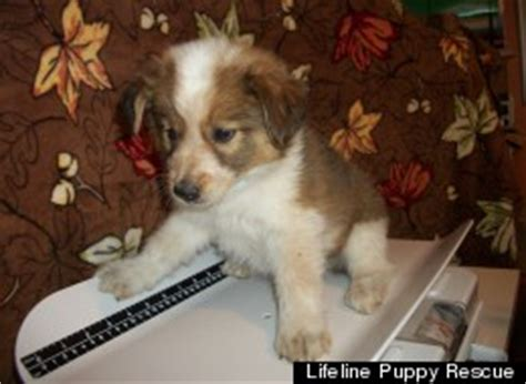 puppy rescue denver adopt a new best friend this week from a new litter of puppies at lifeline puppy