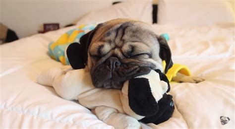 bed pugs doug the pug goes to bed in the cutest way possible