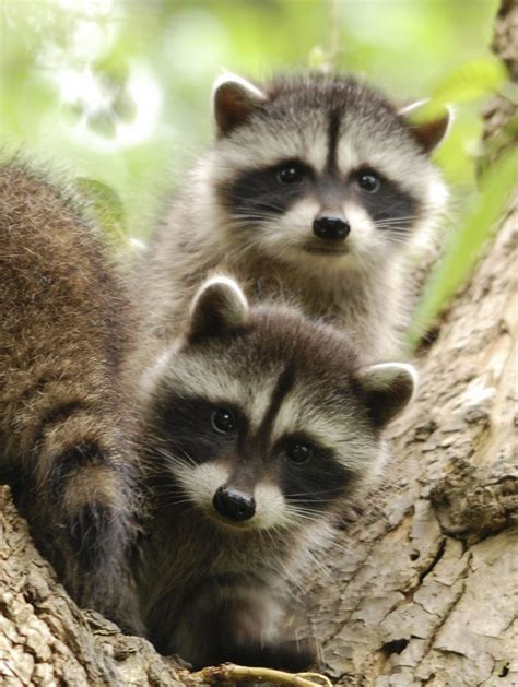 baby marder baby raccoons two baby raccoon s wondering what s