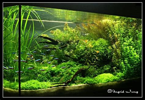 Shrimp Tank Aquascape Pellia Live Aquatic Moss Best Carpet Moss Green Ground
