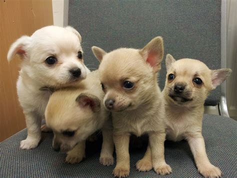 chihuahua puppies for sale colorado chihuahua puppies for sale redruth cornwall pets4homes