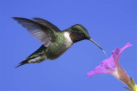 hummingbirds pilat 2016 17 endangered species