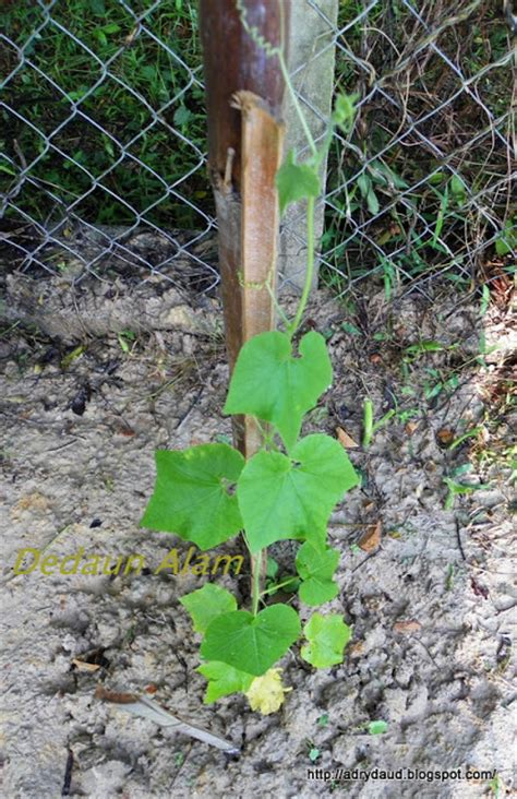 Teh Pucuk Yang Kecil dedaun alam kebun kecil tepi pagar