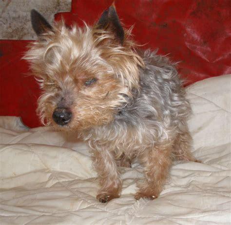 yorkie rescue missouri mo 12 year terrier for adoption