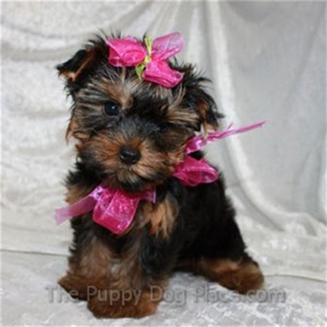 housebreaking a yorkie in 5 days adorable yorkie puppy photos