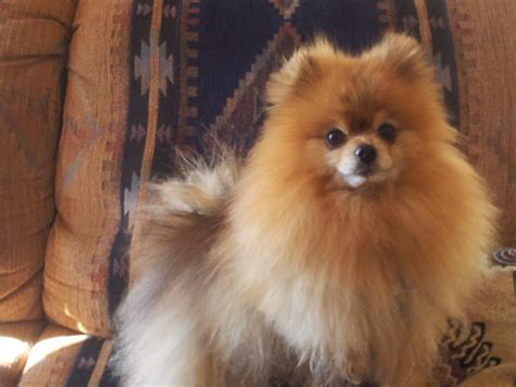pomeranian breeders in northern california a pomeranian rescue story a true survivor gimly