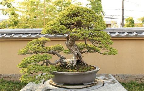 japanische designer möbel bonsai arten bonsai arten garten rasenpflege bonsai