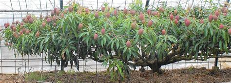 mango  perfect tree  south florida sun sentinel