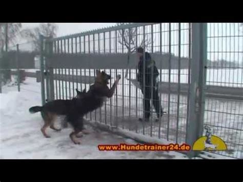 how to a german shepherd to attack guard attack with the german shepherds witch tiger