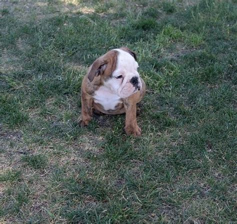 bulldog puppies new hshire dogs new hshire free classified ads