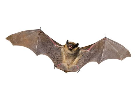 bat removal control repellent amp exclusion how to get