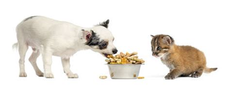 chihuahua dog eating food from a bowl royalty free stock cat food out of a purple pink bowl isolated on white