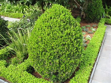 Boxwood Planters by Plant Guide Buxus Microphylla Wintergreen
