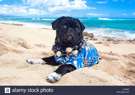 pug puppies oahu pug in aloha shirt on in hawaii stock photo royalty free image 88973559