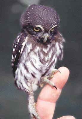 pygmy owl animals birds o owl owl 2 pygmy owl png html