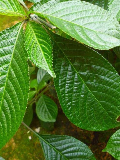 Tanaman Obat Untuk Batuk Kronis 10 tanaman yang bisa dimanfaatkan sebagai ramuan obat