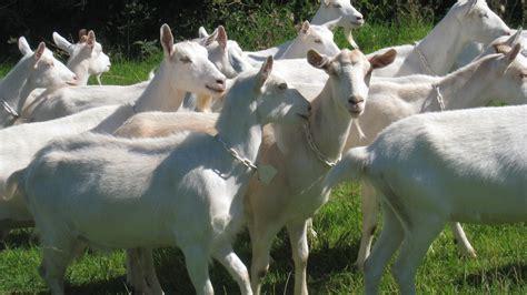 Skim Milk Australia Untuk Ternak pb ramunia ternak kambing boer dan membekal kambing dari