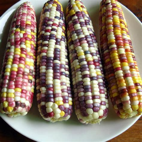 colored corn 20x corn seeds ornamental colored corn seed