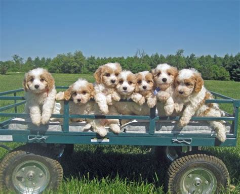 cavapoo puppies va best 25 puppies ideas on baby dogs adorable puppies and