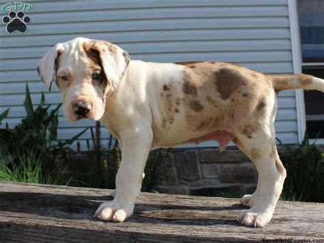 great dane puppies for sale in pa 25 best ideas about great dane for sale on harlequin great danes great