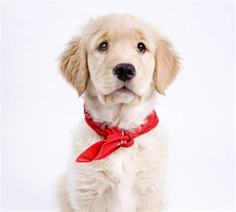 wavy haired golden retriever golden retriever sk 246 n m 229 ngsysslare h 228 rliga hund