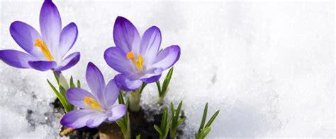 fiori di inverno giardinaggio in inverno fiori invernali piante