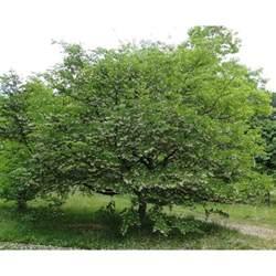 styrax japonica ornamental trees from ornamental trees