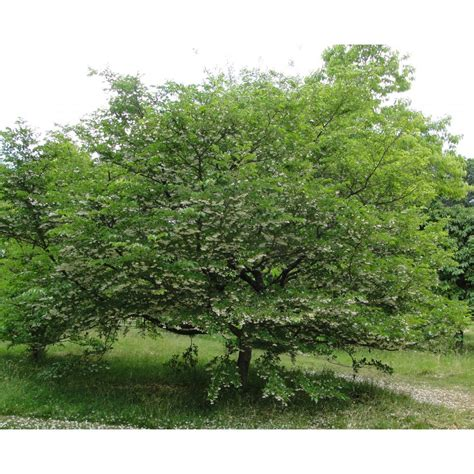Small Decorative Trees by Styrax Japonica Ornamental Trees From Ornamental Trees