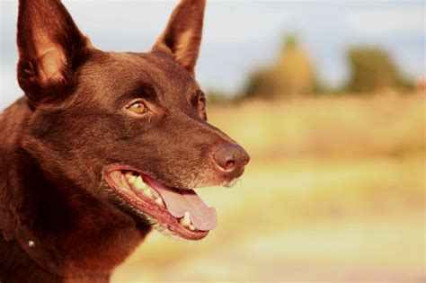 themes in the film red dog red dog kriv stenders josh lucas rachael taylor