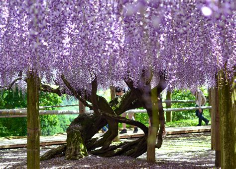 wisteria tunnels tokyo wisteria tunnel of flowers japan jr pass 3 live less