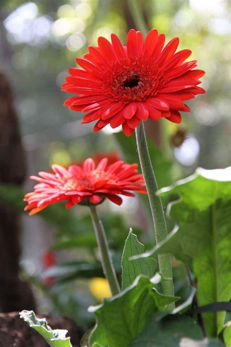 5 big and beautiful indoor plants flower power 45 best indoor flowering plants images on pinterest