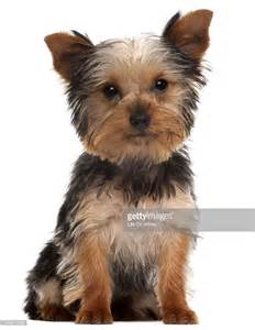 yorkie puppy pictures free terrier puppy stock photo getty images