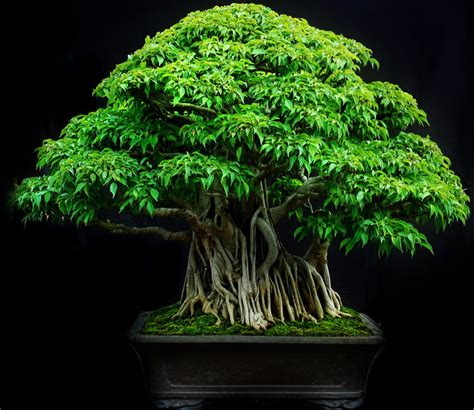 jenis tanaman hias bagus  dijadikan bonsai
