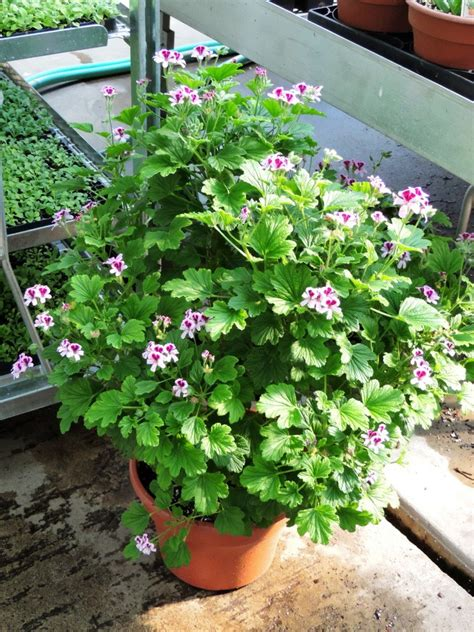 best scented geranium top 8 fragrant houseplants you should in your house nurserylive gardening in india