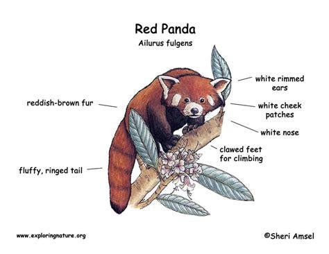 panda lesser  red