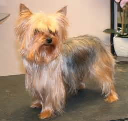 how to cut a yorkie s hair at home trimming yorkie face hair hairstyle gallery
